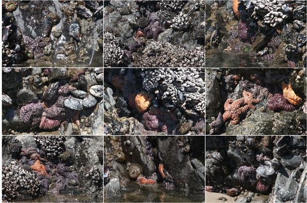 Sea stars, Chinook Winds rocks
