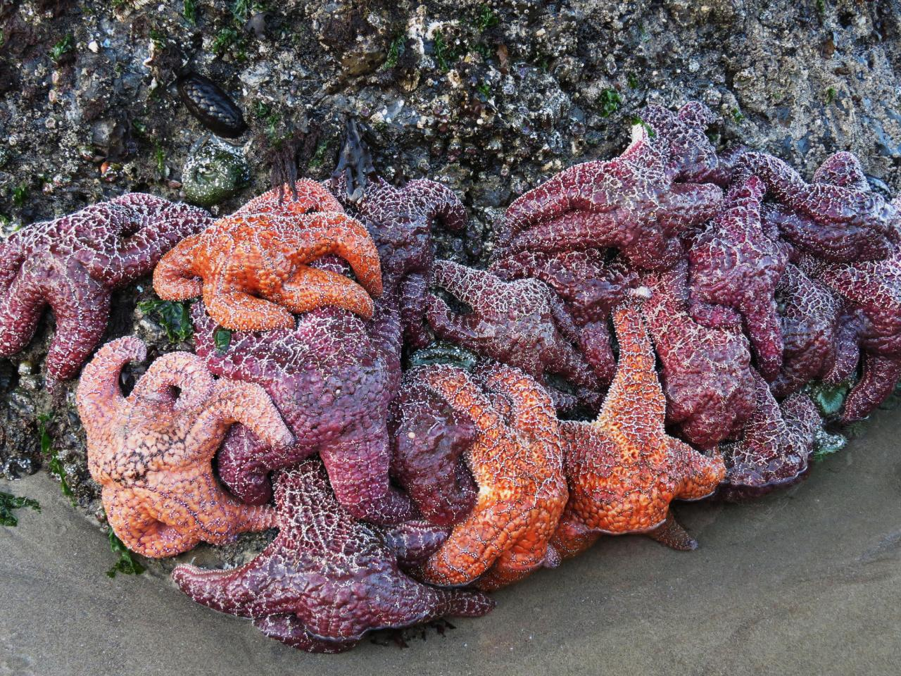 Ochre sea stars.  Photo by Sonja Peterson.