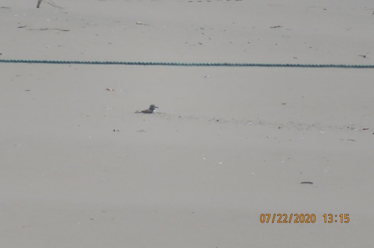Snowy Plover nest Bayshore Mile 202