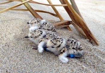 Photo of Snowy Plover Chicks.