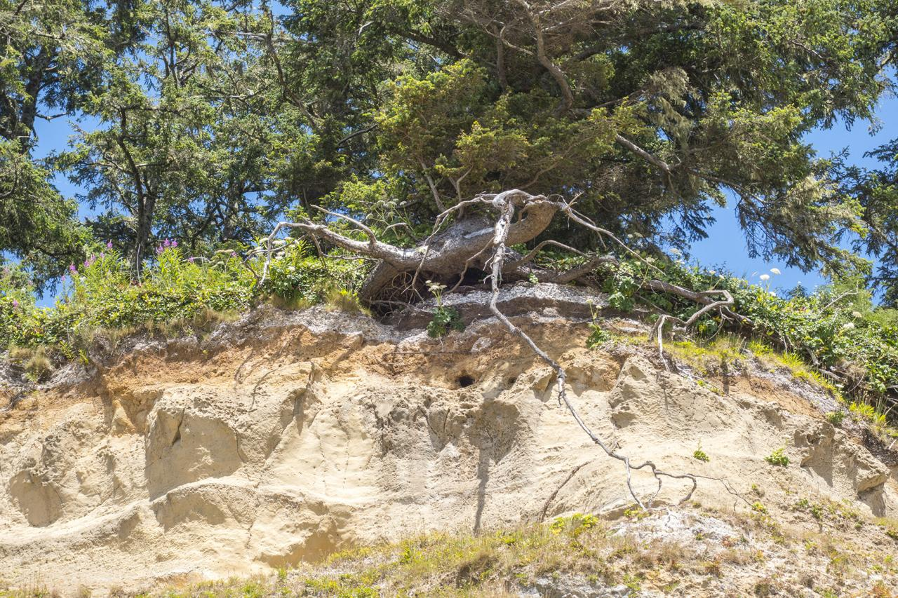 Tree root exposed on beach bluff