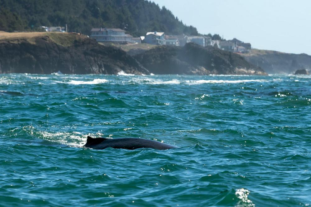 Humpback whale in Oregon waters