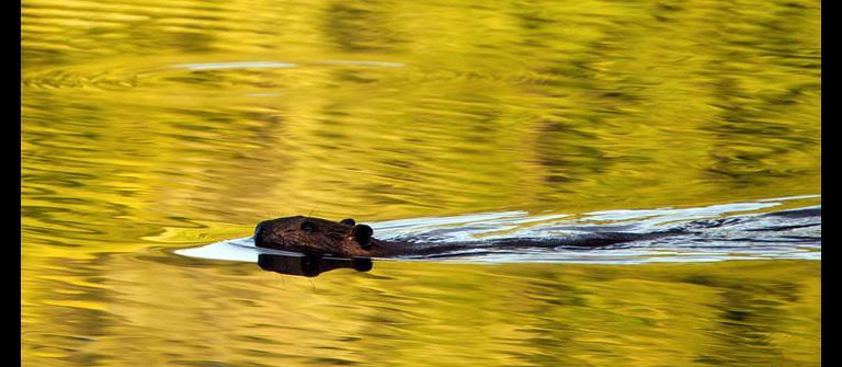 Beaver swimming. | Photo courtesy of Smith River Alliance