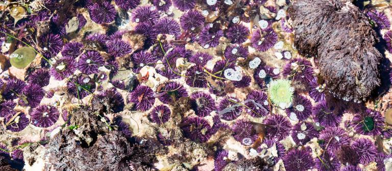 Purple urchins.\Photo by Alex Derr.