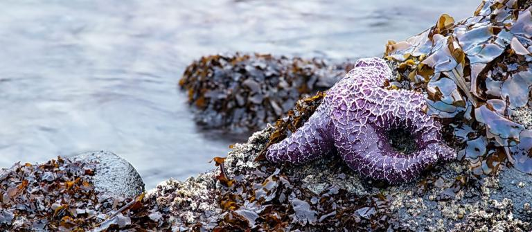 Sea stars and algae characterize rocky shore habitats.\Photo by Rena Olson.