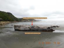New location of 100 year old big driftwood log