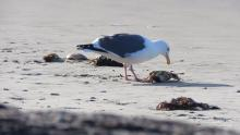 Seagull feeding on crabs.