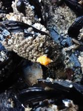 Blue mussels with barnacles and marine snail