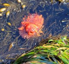 California Sea Cucumber