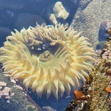Pale Sea Anemone