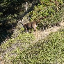 deer navigating the cliffs