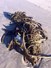Kelp bundle
