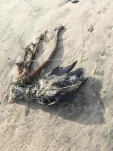 Dead bird 7 with kelp.