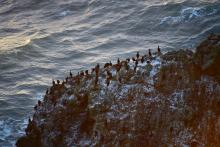 Cormorants on offshore rock, mile 226