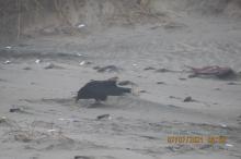 American Crow inside Snowy Plover Enclosure