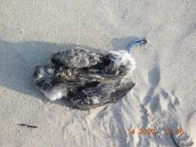 Beached Cassin's Auklet