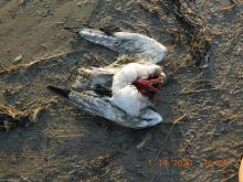 Beached gull #2, scavenged