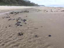 Beached mussels