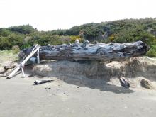 Big log tossed up on dunes 5-18-2021