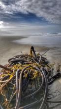 Bull Kelp pile