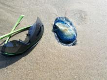 Velella velella (By-The-Wind Sailors)