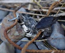 dead cassins auklet