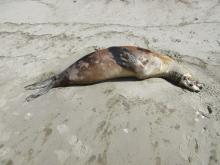 dead harbor seal