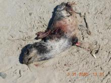 Dead seal pup