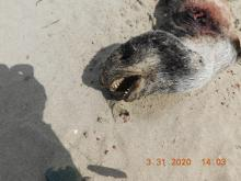 Dead seal pup closeup