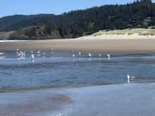 Seagulls hanging out in Ecola Creek