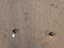 Likely Otter prints