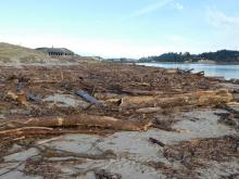 Driftwood debris, north shore of Alsea Bay