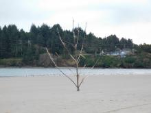Someone planted a driftwood tree