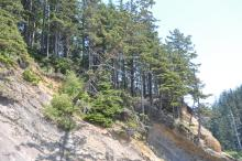 Trees in the process of falling over due to bluff erosion.