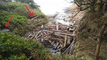 King tide driftwood logs in the salal brush.