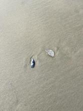 Broken sand dollars in the debris line