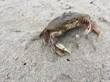 Live crab on the beach