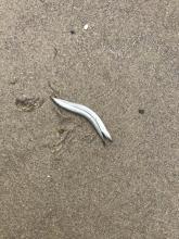 Sand lance