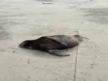 Beached Sea Lion