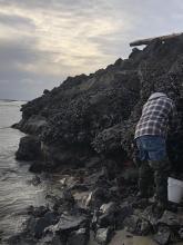 Harvesting mussels for dinner