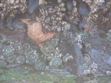 sea stars near Arch Cape