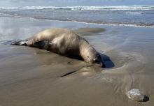 SouthBeach Sea Lion