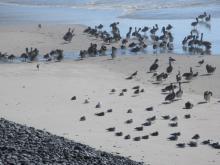 pelicans on Cove Beach