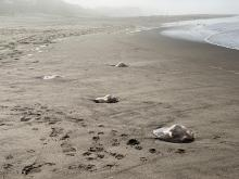 Beached Jelly fish on Wecoma Beach Lincoln City, Oregon