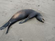 Dead California sea lion
