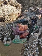 Sea Stars and Anemones living in harmony