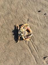 crab molt