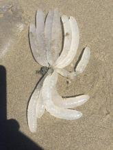 Squid egg case-Doryteuthis opalescens