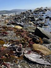 Cobble and seaweeds facing south