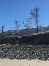 Eroding dune -- dead trees etc